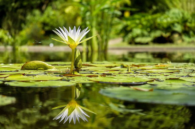 water-lily-